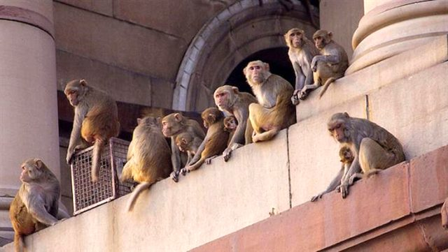 Denek olarak kullanılan maymunlar, asistana saldırarak koronavirüs kan örneklerini çaldı